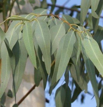 Eukalyptus Radius äther..